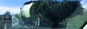 Der Rockefeller Center Christmas Tree 2016 unterwegs auf der Autobahn in Richtung Manhattan  credit robynmalocsay2